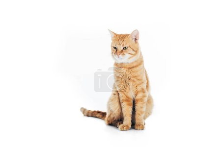 cute domestic tabby cat sitting and looking away isolated on white