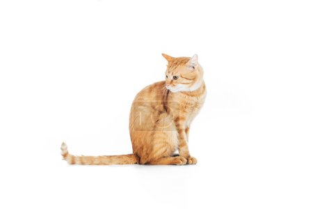 side view of cute domestic ginger cat with long tail sitting isolated on white