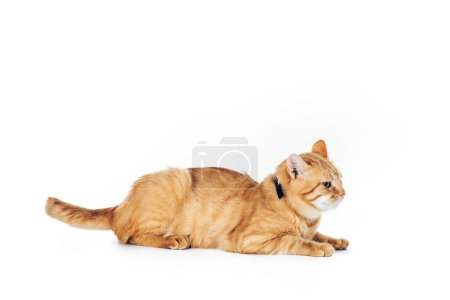 side view of furry domestic ginger cat with collar lying isolated on white