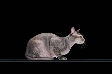 side view of friendly domestic grey sphynx cat sitting isolated on black