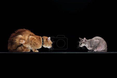 domestic ginger cat and sphynx cat looking at each other isolated on black