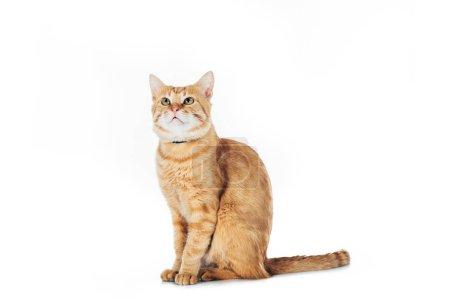 Photo pour Adorable chat rouge levant isolé sur blanc - image libre de droit