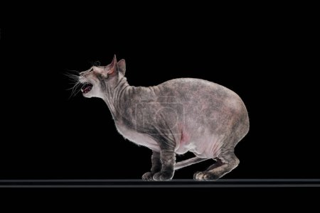 side view of domestic grey sphynx cat meowing isolated on black