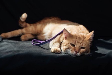 cute domestic red cat with leash resting on black blanket