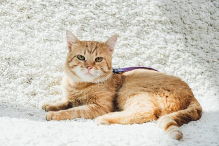 cute domestic red cat with leash lying on white soft carpet in living room and looking at camera
