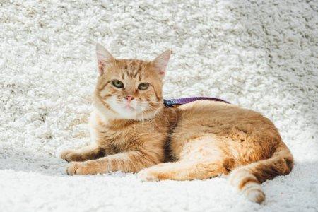 Photo pour Cute chat rouge avec laisse couché sur le tapis doux blanc dans le salon et regarder la caméra - image libre de droit