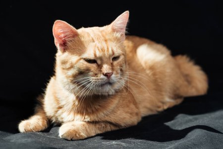cute domestic ginger cat dozing on black blanket