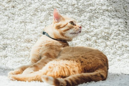 cute domestic red cat looking away on white soft carpet in living room