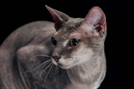 sphynx cat with long whiskers looking away isolated on black
