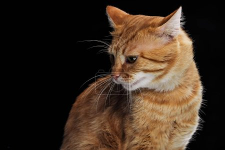 cute domestic red cat looking down isolated on black