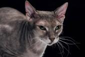 """Постер, картина, фотообои """"внутренние серый Сфинкс кошка смотрит прочь сложенные"""""""