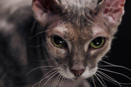 Photo pour Gros plan du chat sphynx gris domestique isolé sur noir - image libre de droit