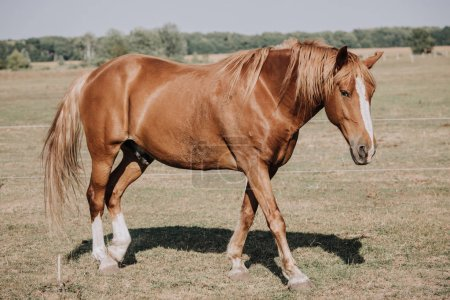 brown beautiful horse grazing on meadow in countryside