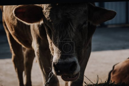 close up view of domestic calf standing in stall at farm