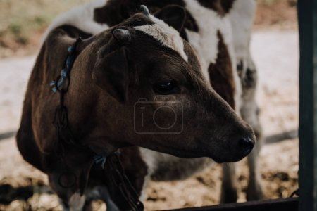 little adorable calf standing in stall at farm
