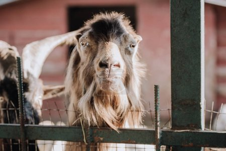 selective focus of camel standing in stall at farm