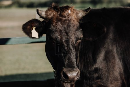 close up view of black domestic cow standing in stall at farm