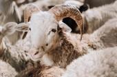 """Постер, картина, фотообои """"Портрет овцы пастбища с стадо в Коррале на ферме"""""""