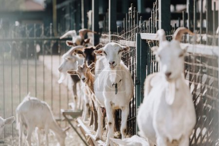 selective focus of goats standing near metal fence in corral at farm