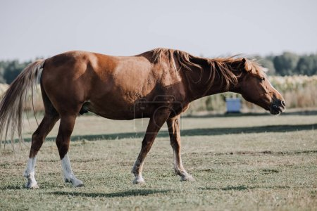 beautiful brown horse grazing on meadow at farm