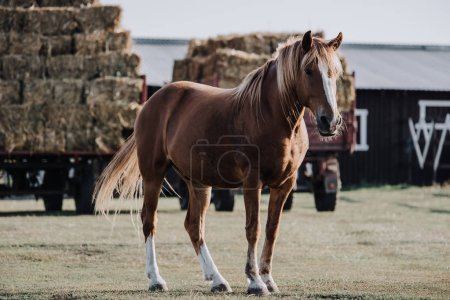 selective focus of beautiful brown horse grazing on meadow with stocked hay behind at farm