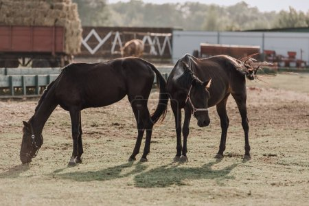rural scene with beautiful black horses grazing on field at farm