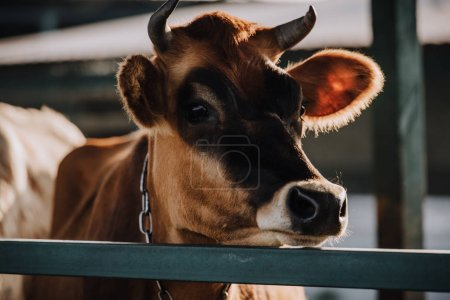 close up view of brown domestic cow standing in stall at farm
