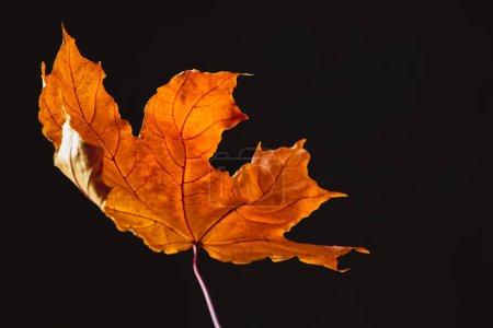 beautiful orange maple leaf isolated on black, autumn background