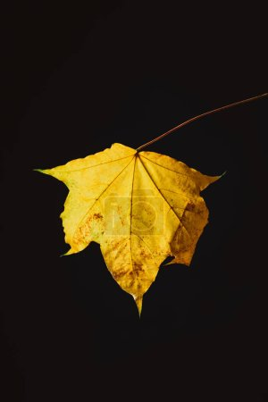 beautiful yellow maple leaf isolated on black, autumn background