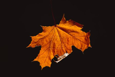 one beautiful orange maple leaf isolated on black