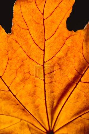 close up of orange maple leaf with veins isolated on black, autumn background