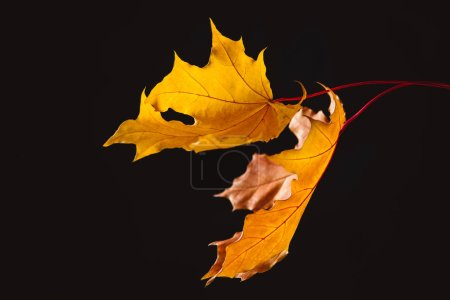 falling maple leaves isolated on black, autumn background