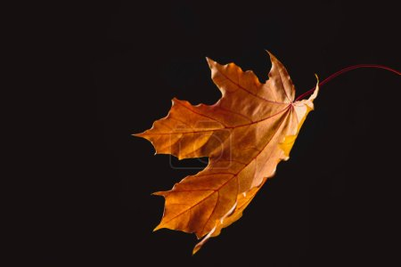 one falling orange maple leaf isolated on black, autumn background