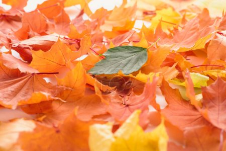 green leaf on orange and yellow maple leaves, autumn background