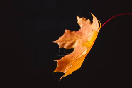 one orange maple leaf isolated on black, autumn background