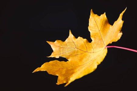 one yellow maple leaf isolated on black, autumn background