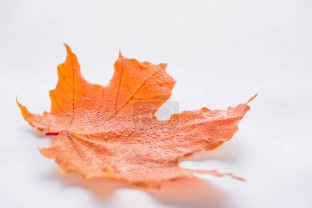 enfoque selectivo de una hoja de arce naranja con gotas de agua sobre fondo blanco, otoño