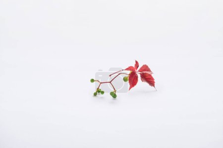 twig with burgundy leaves and green berries isolated on white, autumn background