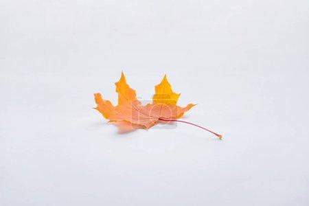 one orange maple leaf isolated on white, autumn background