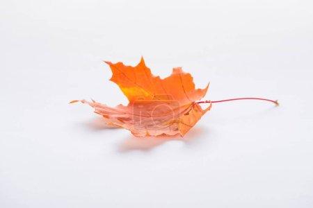 Photo for One fallen orange maple leaf isolated on white, autumn background - Royalty Free Image