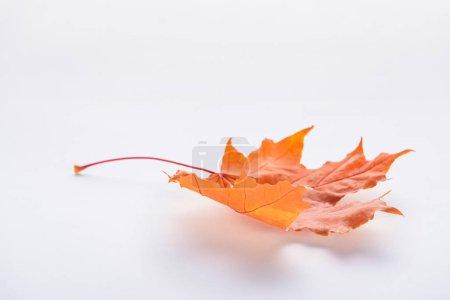 Photo pour Une feuille d'érable automnale orange isolée sur blanc - image libre de droit