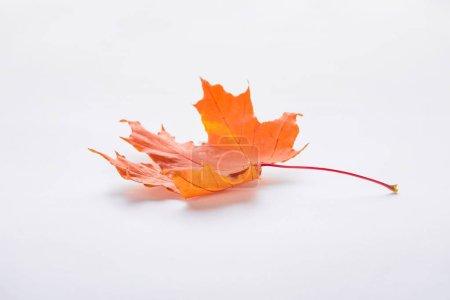 Photo pour Une feuille d'érable orange isolée sur fond blanc, automne - image libre de droit