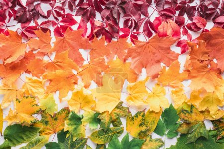 flat lay of different maple leaves isolated on white, autumn background