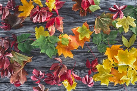 top view of scattered colored autumnal maple leaves on wooden grey surface