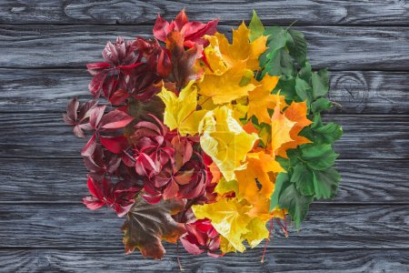 top view of circle of burgundy, yellow and green autumnal maple leaves on wooden grey surface