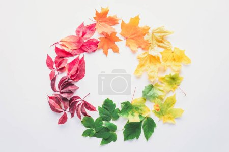 flat lay of autumnal maple leaves in circle isolated on white