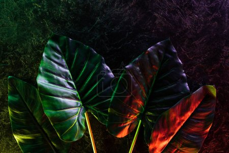 Photo for Flat lay with arranged tropical leaves placed in row with red and purple lighting - Royalty Free Image