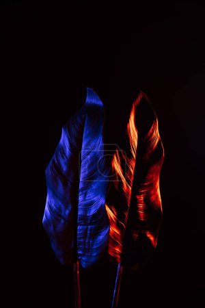 toned picture of beautiful tropical leaves with red and blue lighting isolated on black