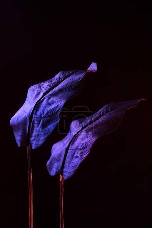 photo couleur de tropical laisse avec éclairage violet sur fond noir