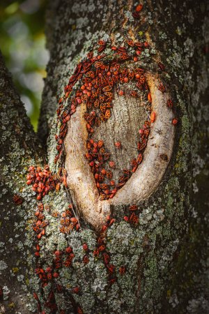 close up view of colony of firebugs on old tree trunk